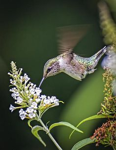 Hummingbird Print by Andrew Lawlor
