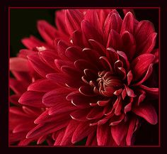 red chrysanthemum by ngr07, via Flickr - red mums on all of the tables?