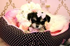 Maltese/Chihuahua Mix  Adorable! #9543537864 teacuppuppiesstore.com teacup cute puppy puppy mixed puppy