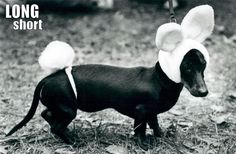 seriously.  How can you not love this? Something about dachshunds wearing cute thing....
