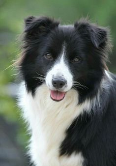 Pretty Border Collie❤️