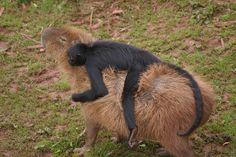 A monkey riding a capybara http://ift.tt/2hsOGhk