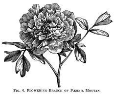 Image result for public domain botanical illustration black & white