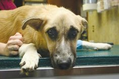 Thanks to the generosity of total strangers, Sampson, an abused dog found on a road in Macon, GA, is getting the care and love he so badly needs and deserves.