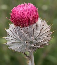 Bloom for February cobweb thistle (Cirsium occidentale. Unusual Flowers, Unusual Plants, Wild Flowers, Beautiful Flowers, Ikebana, California Native Plants, Planting Flowers, Flowering Plants, Perennials