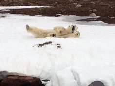 #OnLocation #Arctic Blog - Laura from The Ultimate Travel Company took a trip to the Arctic Island of #Spitsbergen where she met #Polar #Bears