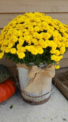 Aged and Distressed Galvanized Garbage Can, Wrapped with a Burlap Bow, and Potted Fall Mums.