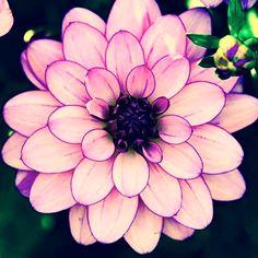 100 Pcs Seeds Mixed Color Cineraria Plant Daisy Flores Flower Bonsai Easy Grow N