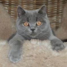 Joep, Britse korthaar blauw