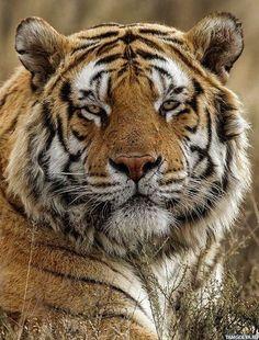 #Животные, #Тигры,  #аватары, #картинки, #фотки, #арт, https://avatarko.ru/kartinka/33003