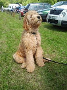Labradoodle, this WILL be my first dog. Present for graduating nursing school? I think so!