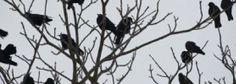 Crônicas Americanas: Nós precisamos dos corvos