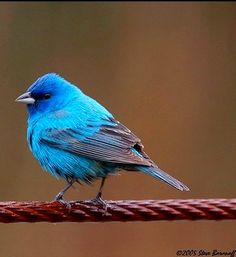 Indigo Bunting - saw a few of these birds this morning! Beautiful!!