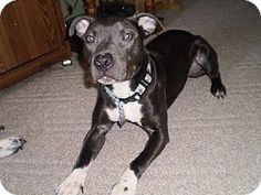 Pippa is an American Staffordshire Terrier who loves cuddles and long walks.