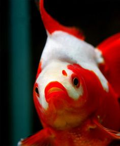 Goldfish  red and white