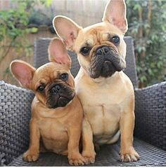 French Bulldog Puppy and Big Sister