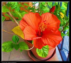 Hibiscus by Giancarlo Gallo
