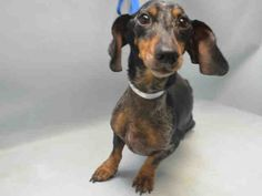 PEPE  – A1089867  ***RETURNED 10/16/16***  NEUTERED MALE, DAPPLE, DACHSHUND MIX, 2 yrs, 1 mo STRAY – STRAY WAIT, HOLD FOR ID Reason STRAY