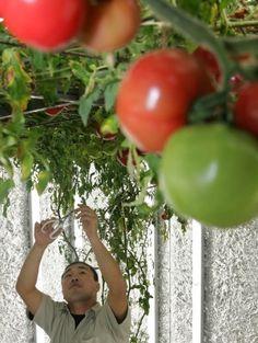 The Weird And Wonderful World Of Indoor #Farming...#growing in #UrBin #pots. http://www.naturesfootprint.com/urbin-grower