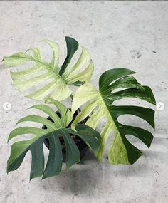 Fake Plants, Cool Plants, Green Plants, Tropical Plants, Variegated Plants, Plant Aesthetic, Summer Plants, Plants Are Friends, Foliage Plants