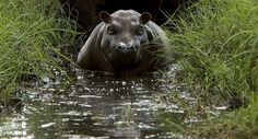This giant hippo was seen while we were exploring the Zambezi David Livingstone, Star David, Victoria Falls, Tour Guide, Exploring, Safari, Tours, Adventure, Day