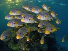 Picture of diagonal-banded sweetlips in the Great Barrier Reef, Queensland, Australia Great Barrier Reef, National Geographic Images, Salt Water Fish, Underwater Photographer, Shops, Ocean Creatures, Underwater World, Sea World, Cool Posters