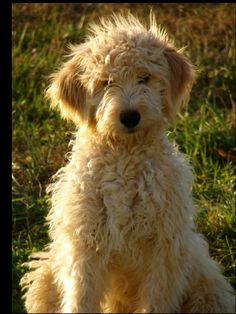 what i would do for a golden doodle..