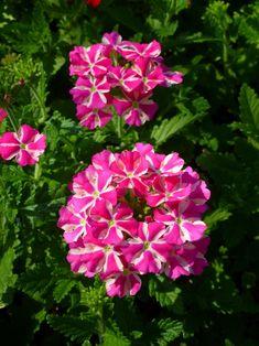 Verbena, Cactus, Flowers, Royal Icing Flowers, Floral, Florals, Flower, Bloemen, Blossoms
