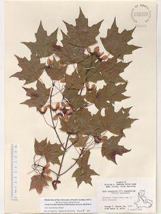 Acer_leucoderme,Resources for Botanical Sketchbooks, , Resources for Art Students at CAPI::: Create Art Portfolio Ideas milliande.com, Art School Portfolio Work, ,  Botanical, Flowers, Plants, Leaves,Stem Seed, Sketching