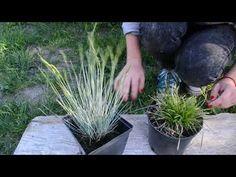 Trawy ozdobne w ogrodzie. Jak rozmnażać trawy ozdobne - YouTube Herbs, Gardening, Dom, Youtube, Plants, Instagram, Balcony, Lawn And Garden, Herb