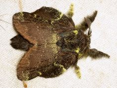 Lappet Moth, Lasiocampidae