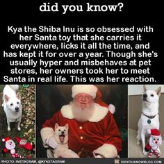 Kya the Shiba Inu is so obsessed with her Santa toy that she carries it everywhere, licks it all the time, and has kept it for over a year. Though she's usually hyper and misbehaves at pet stores, her owners took her to meet Santa in real life. Animals And Pets, Baby Animals, Funny Animals, Cute Animals, I Love Dogs, Puppy Love, Cute Dogs, Happy Puppy, Meet Santa