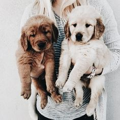 The many colors of Golden Retriever puppies