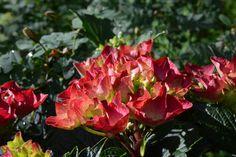 Jalohortensia | Vesan viherpiperryskuvat – puutarha kukkii