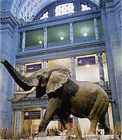 Smithsonian National Museum of Natural History  Henry the Elephant inside the Museum Rotunda