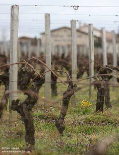 Vines at Château Chauvin, April 2015 Bordeaux Wine, Vines, Bottles, Arbors, Bordeaux, Vitis Vinifera
