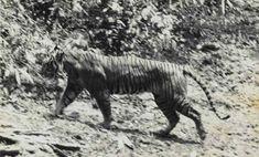 Javan Tiger, last seen wild in 1976. Declared extinct in 2003.