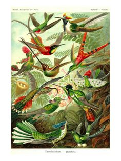 Hummingbirds Posters by Ernst Haeckel at AllPosters.com