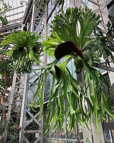 "Playcerium Bifurcatum Staghorn Fern Plant Large 12/""shield 16/"" fronds from FLA"