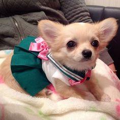 Sailor Moon Chihuahua.