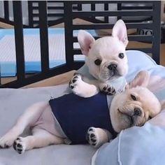 French bulldog tired