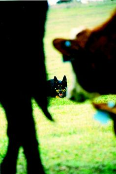 Cow Dogs — Fall 2009   Out Here Magazine