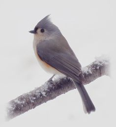 Cute Tufted Titmouse bird is perched on a snowy branch on a New England day in late December. Image captured during our first snow of the Winter Season in New Hampshire.