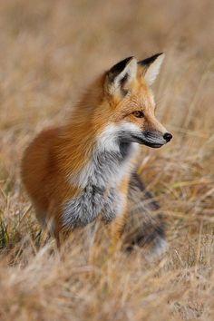 fox-photo-122-pictures-108
