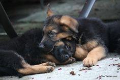 German Shepherd Puppies ❤️                                                                                                                                                                                 More