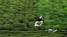 Çay toplayan kadın