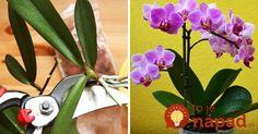 Pestujete doma orchideu? Takto jednoducho si ju môžete rozmnožiť! :-) House Plants, Flowers, Garden, Orchids, Home And Garden, Gardening Tips