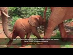 A VERY SWEET SURPRISE : Ex-orphan Sweet Sally returns to DSWT with a new baby! DSWT couldn't have wished for a more special gift on Thanksgiving than welcoming the 4th wild born baby to one of their independent and now wild ex-orphans this year alone, making a total of 16 wild born babies born to the hand raised orphans! Watch : http://www.sheldrickwildlifetrust.org/updates/updates.asp?ID=876