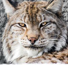 Bobcat Close-up Portrait I by *OrangeRoom on deviantART