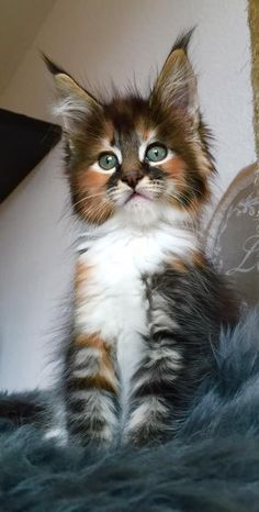 *** We need marketers for our product*** We are in the business of aiding and assisting the elderly, disabled and pets too! http://www.mainecoonguide.com/what-is-the-average-maine-coon-lifespan/